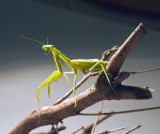 The delicate legs of the Praying Mantis