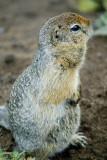 Arctic squirrel, Nalychevo Nature Park