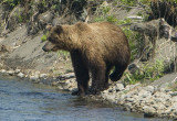 Brown bear, Olga Bay