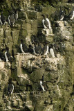 Guillemot nest, Cape Monati, Bering Island