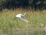 Little egret in flight,Okavango