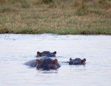 Submerged hippos, Chobe River