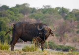 Water buffalo, Chobe NP