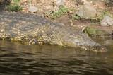 Crocodile, Chobe NP