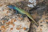 Broadley's Flat Lizard at World's View