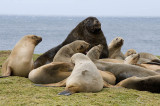 A male NZ (Hookers) Sea Lion with his harem on Enderby I., Sub-Antarctic NZ