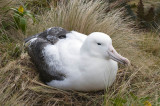 Southern Royal Albatross nesting on Campbell I.