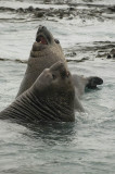 Elephant seals at play