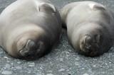 Elephant seal 'weaners' (newly weaned)