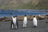 King Penguin rookery, Sandy Bay