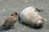 A skua contemplates an elephant seal