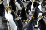 Royal Penguins, Sandy Bay