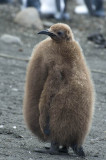 King Penguin fledgling