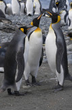 King Penguins, Sandy Bay