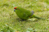 Red-crowned parakeet, Enderby Island, Sub-Antarctic NZ.
