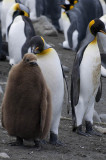 King penguins with fledgling