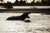 Yawning hippopotamus, Rufiji River