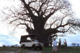 Under a baobab at dusk