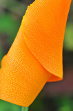 Poppies 7