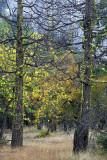 Yosemite NP - Mossy Pines 1