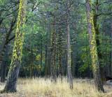 Yosemite NP - Mossy Pines 2
