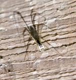 Linyphiinae - Sheetweb Spiders - Neriene radiata