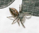 Salticidae - Jumping Spiders-Phidippus