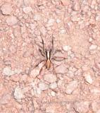 Alopecosa aculeata - Lycosidae - Wolf Spiders