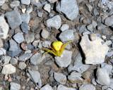 Misumena vatia - Female -Yellow Goldenrod Crab Spider