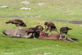 Striated Caracara - Falklandcaracara - Phalcoboenus australis