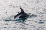 Peale's Dolphin - Dolfijn van Peale - Lagenorhynchus australis