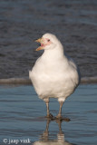 Chionis alba - Zuidpoolkip - Pale-faced Sheatbill