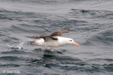 Black-browed Albatross - Wenkbrauwalbatros - Thalassarche melanophris