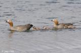 Ruddy-headed Goose - Roodkopgans - Chloephaga rubidiceps