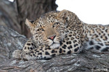 Botswana: Leopards, October 5-11, 2008