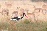 Saddle-billed Stork - Zadelbekooievaar - Ephippiorhynchus senegalensis