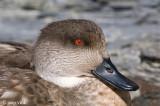 Crested Duck - Gekuifde Eend - Anas specularioides