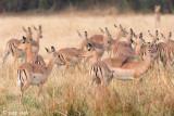 Impala - Impala - Aepyceros melampus