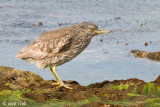 Black-crowned Night-Heron - Kwak - Nycticorax nycticorax