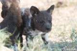 African Wild Dog - Afrikaanse Wilde Hond - Lycaon pictus