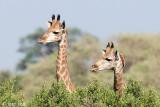 Giraffe - Giraf - Giraffa camelopardelis
