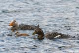 Falkland Steamerduck - Falkland-booteend - Tachyeres brachypterus