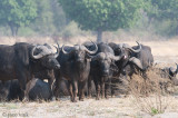 Cape Buffalo - Kaapse Buffel - Syncerus caffer