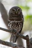 African Barred Owlet - Kaapse Dwerguil - Glaucidium capense