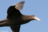 Southern Giant Petrel - Zuidelijke Reuzenstormvogel - Macronectes giganteus