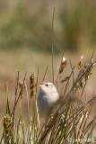 Sedge Wren - Zeggewinterkoning - Cistothorus platensis