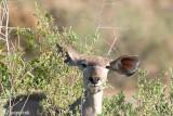 Greater Kudu - Grote Koedoe - Tragalaphus strepsiceros