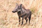 Warthog - Wrattenzwijn - Phacochoerus africanus