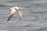 Royal Tern - Koningsstern - Sterna maxima albididorsalis