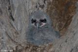 Verreaux's Eagle Owl - Verreaux-oehoe - Bubo lacteus